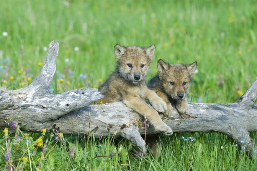 Wolf cubs. Picture courtesy Sierra Club.
